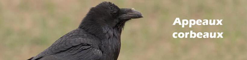 Appeaux corbeaux