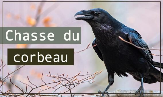 Articles chasse du corbeau