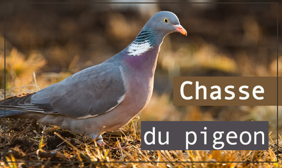 Articles chasse du pigeon
